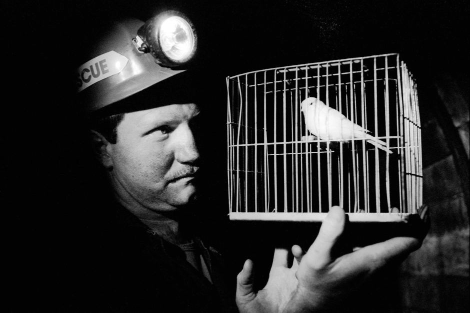 Miner observing a caged canary in a coal mine.